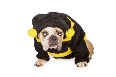Bulldog Wearing Halloween Bumble Bee Costume