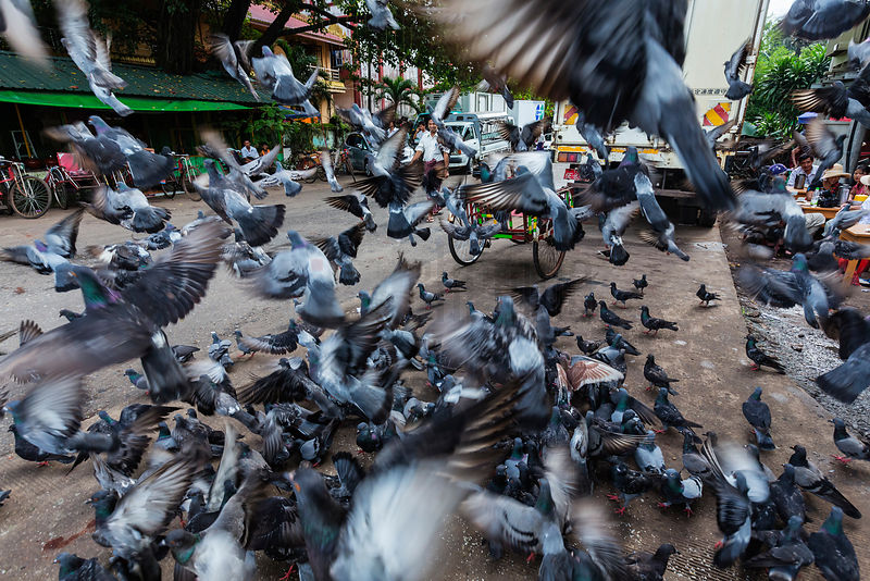 Pigeons Feeding on a Yangon Street