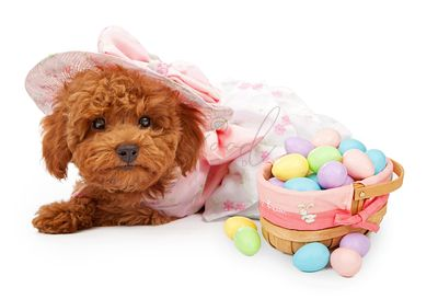 Poodle Puppy in an Easter Dress with Basket of Eggs