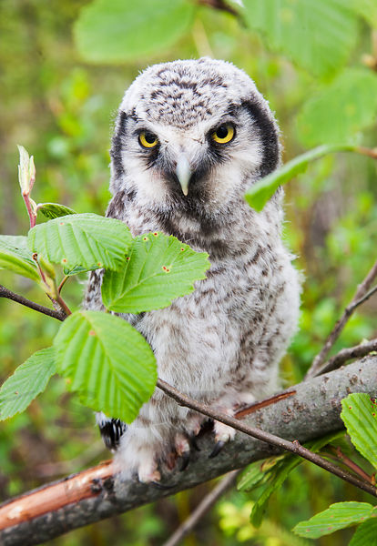 Chick of Hawk Owl