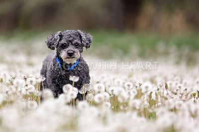 Grey poodle cross in field of dandelions gone to seed