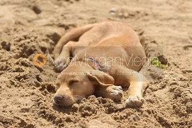 A yellow Labrador asleep on a sandy beach
