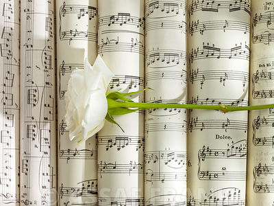 White rose on scrolls of sheet music