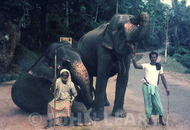 Ceylonese (Sri Lankan) Elephants and their Mahouts.