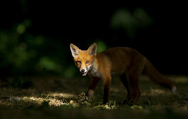 Fox Cub in Dappled Light