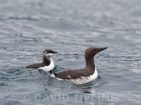 Common Guillemot Uria aalge male with chick that he is leading out to sea Noss Shetland summer