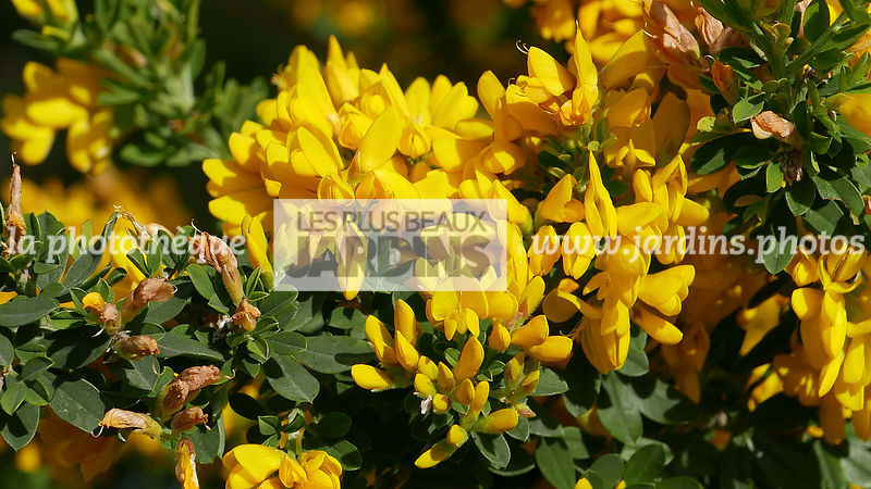 La phototh que les plus beaux jardins cytisus le for Jardin synonyme