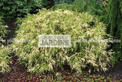 Chamaecyparis pisifera 'Filifera Aureovariegata'. Conifère