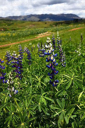 Field of Lupinus mutabilis (known locally as tarwi), near Chinchero, Cusco Region, Peru