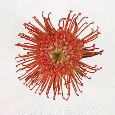 Red pincushion flower, close-up