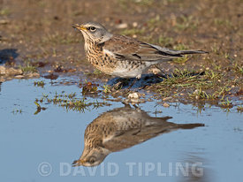 Fieldfare Turdus pilaris newly arrived migrants from continent drinking and bathing in puddles on track North Norfolk October