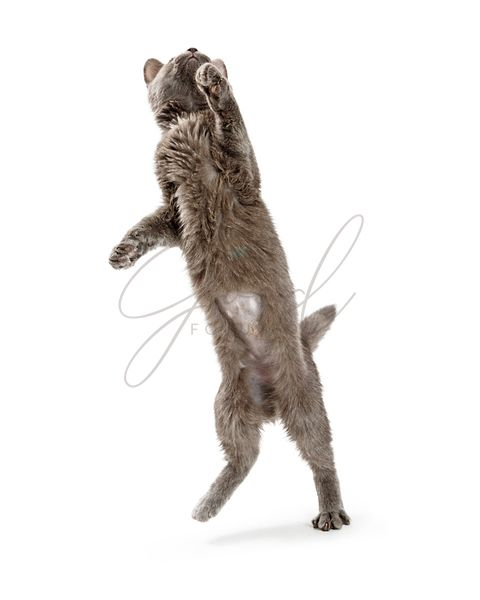 Grey Playful Kitten standing on Hind Legs