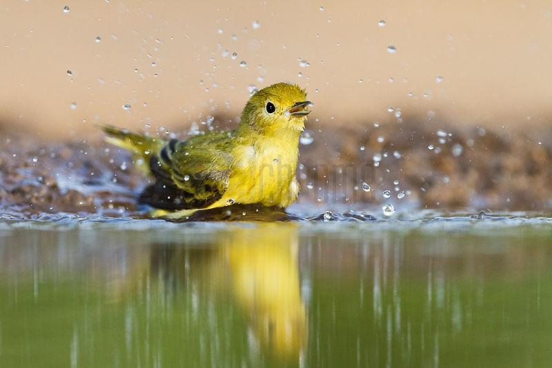 Yellow Warbler Bathing in Waterhole
