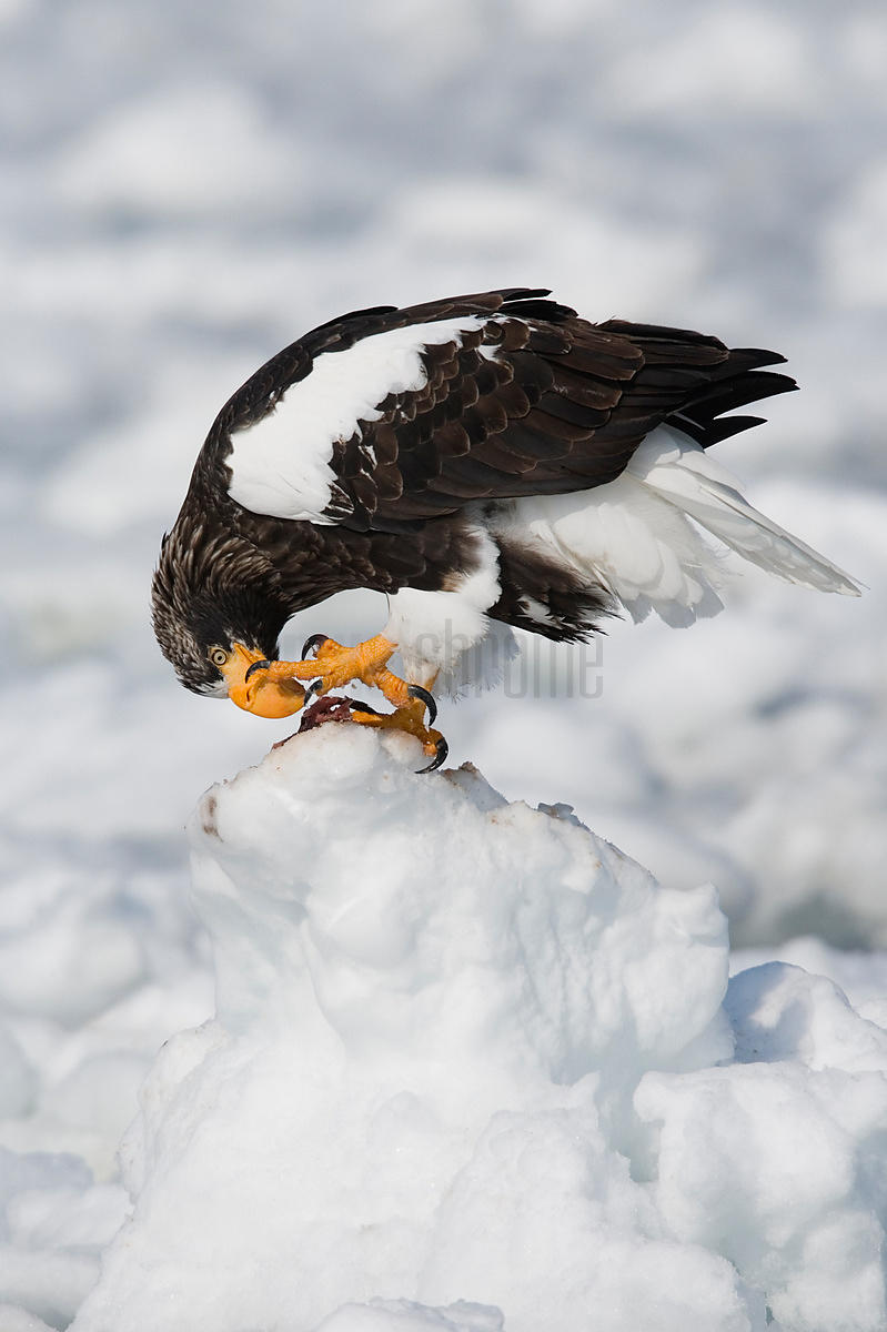 Steller's Eagle on ice floe eating fish, Nemuro Channel, Hokkaido, Japan
