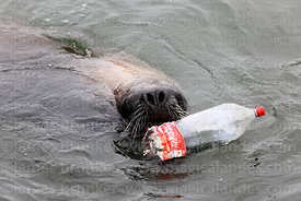 Female South American Sea Lion (Otaria flavescens) playing with plastic Coca Cola bottle
