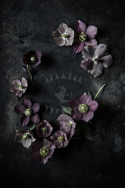 Hellebore by Gabler Photos
