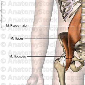 hip-musculus-iliopsoas-psoas-major-iliacus-muscles-front-skin-names