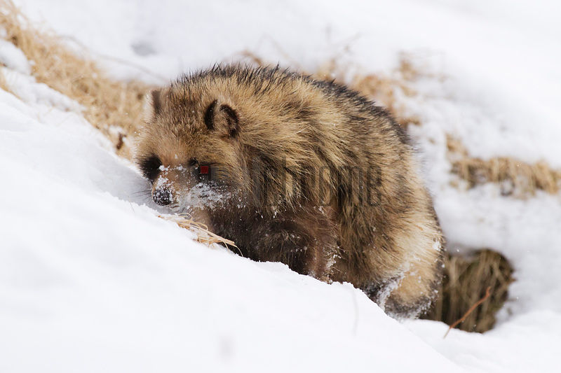 Raccoon Dog Leaving Den