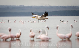 Great White pelican (Pelecanus onocrotalus) gliding by Lesser Flamingos (Phoenicopterus minor) , Lake Nakuru National Park, Kenya; Landscape