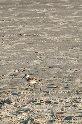 Sandpiper And Shell- Hilton Head