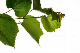 Grape leaf in detail isolated blank