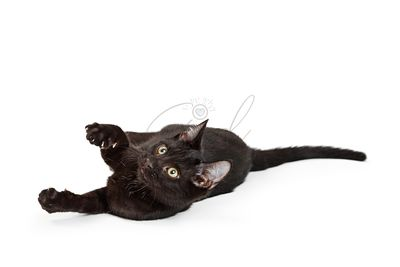 Playful Black Cat Rolling on Ground
