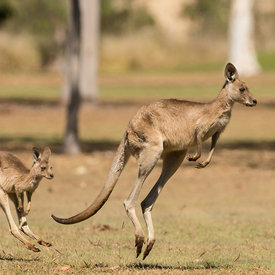Kangaroos wildlife photos