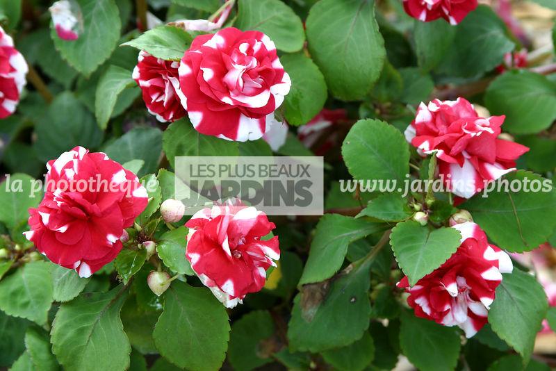 la phototh que les plus beaux jardins impatiens walleriana x balsamine fleur de cam lia. Black Bedroom Furniture Sets. Home Design Ideas