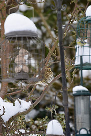 Song thrush hiding behind bird feeders.