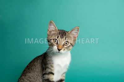 Head shot of a tabby kitten on a teal background