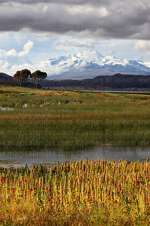 Field of quinoa plants ( Chenopodium quinoa ) growing on shores of Lake Titicaca with stormy sky , Cordillera Real mountains in background , Bolivia