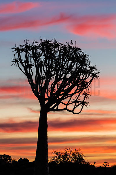 Silhouette of a Quiver Tree at Sunset