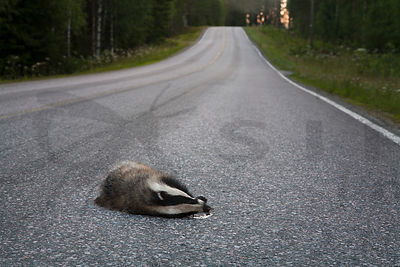 Badger Killed in Car Accident