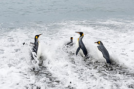 King Penguin Aptenodytes patagonicus St Andrews Bay South Georgia January