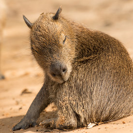 Capybara wildlife photos