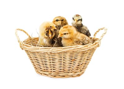 Basket of Baby Chicks