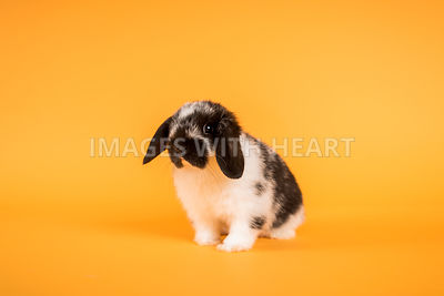 Holland Lop on Orange