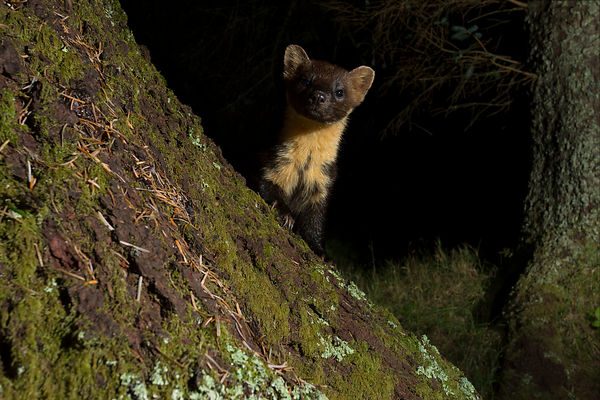 Pine Marten, Scotland - 2016 photos