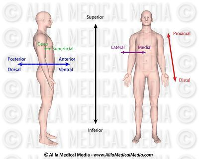 Alila Medical Media General Anatomy
