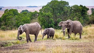 Elephant family walking Kenya Africa Grasslands