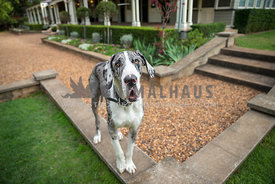 great dane poses on pathway border at his grand home
