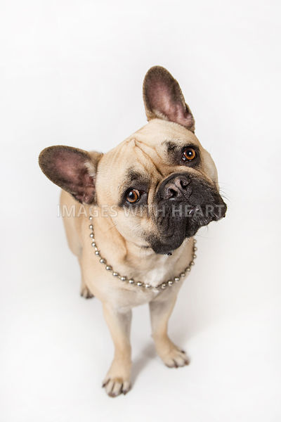 Small Dog Full Body White Background
