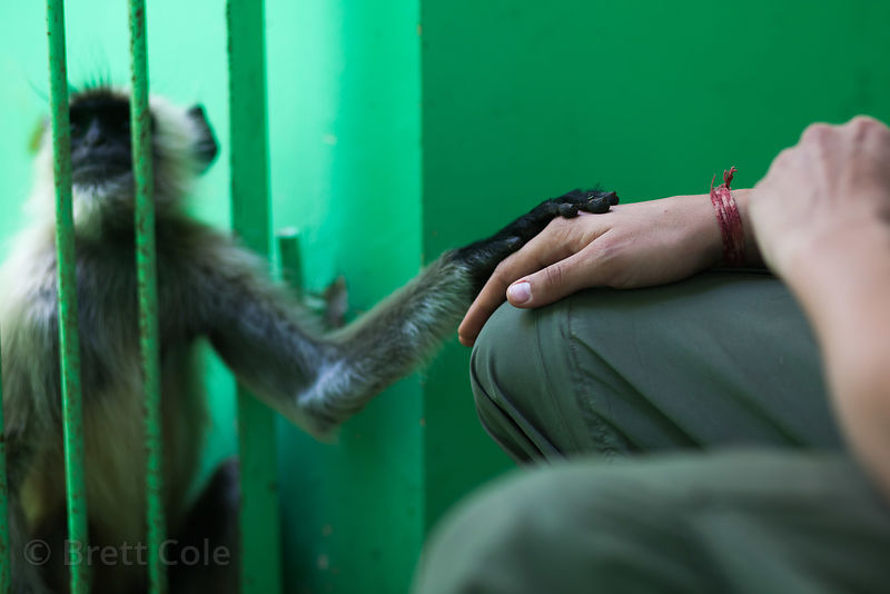 A langur monkey that was electrocuted is cared for at a rescue center in Pushkar, India