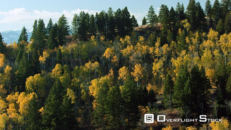 The bright gold color of Aspen trees in autumn dots the foothils of the Gallatin mountain range near Paradise Valley, Montana. The Absarkoa mountains tower in the distance