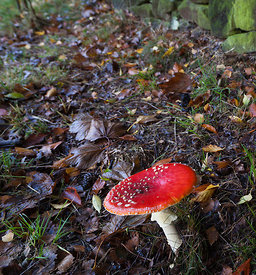 Fly Agaric near stone wall