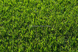 Background of Grass.