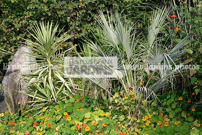 La phototh que les plus beaux jardins brahea armata s for Yucca exterieur rustique