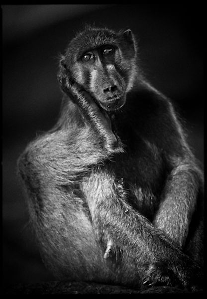 7538-The_baboon_Thinker_Botswana_2009_Laurent_Baheux