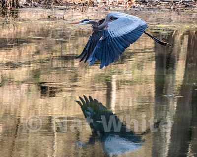 Blue_Heron_in_Flight-1-April_08_2018-Copyright