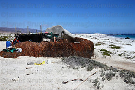 Seaweed drying outside harvestor's hut , Llanos de Challe National Park , Region III , Chile